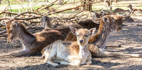 Sarny i jelenie w naturalnym srodowisku.  Dzikie zwierzeta z bliska.  Dzika przyroda z bliska. MLode i dorosle jeleni i sarny. Wypoczynek zwierzat.