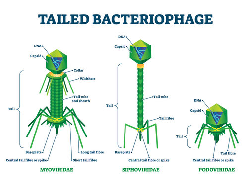 Tailed bacteriophage vector illustration. Labeled virus educational scheme.