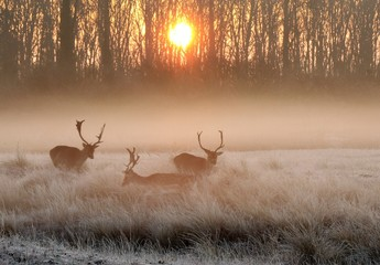 Deer Standing On Field In Foggy Weather During Sunset