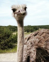Zelfklevend Fotobehang Struisvogel Close-up Portrait Of Ostrich Against Sky