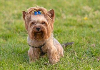 Fototapeta Cute yorkshire terrier on green grass