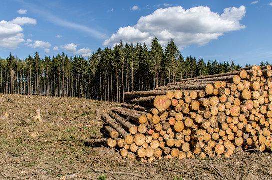 Waldschäden und gefällte Bäume im Taunus Hessen