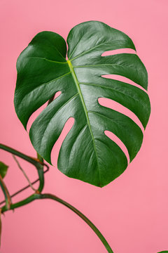 Tropical Plant On Pink Background