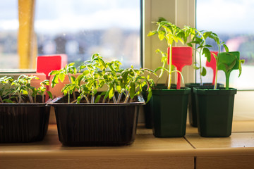 Growing tomato seedlings plants in plastic pots with soil on balcony window sill with tags labels. Urban home balcony gardening, growing vegetables concept