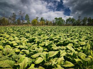 Tabakpflanze Landwirtschaft
