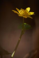 Samotny wiosenny żółty kwiatek polny w zbliżeniu i delikatnym oświetleniu