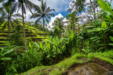 Fotobehang Rijstvelden Tegallalang, Bali - February, 2020: Near the cultural village of Ubud is an area known as Tegallalang that boasts the most dramatic terraced rice fields in all of Bali.