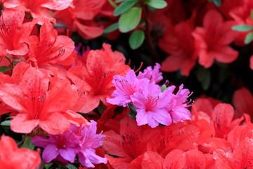 Papiers peints Azalea 철쭉꽃이 보이는 아름다운 봄풍경
