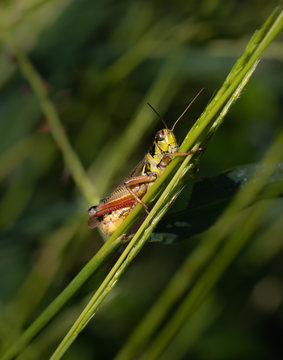 A grasshopper hangs on to a reed in a thick sttreamside meadow in Berks County, PA