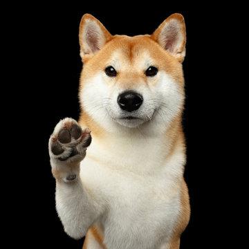 Portrait of Friendly Shiba inu Dog, Give Paw on Isolated Black Background