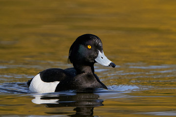 Fototapeta Tufted duck (Aythya fuligula) obraz