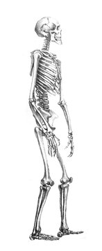 The illustration of human skeleton in the old book the Antropology, by E. Petri, 1890, St. Petersburg