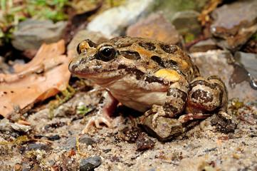 Canvas Prints Frog Gemalter Scheibenzüngler (Discoglossus pictus) - Spanien / Mediterranean painted frog - Spain