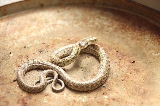 ヘビ アオダイショウの子供