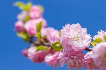 Wall Mural - Branch of blooming sakura flowers