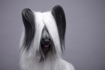 Wall Mural - Portrait of a white sky Terrier on a gray background.