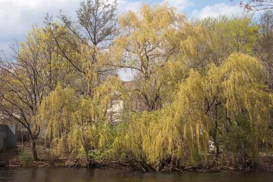 Weeping willow along the Charles River in Watertown MA