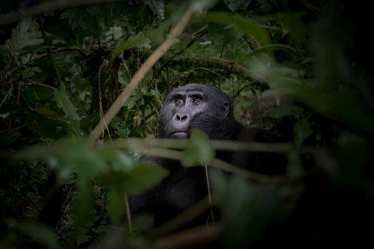 Gorilla sitting in forest
