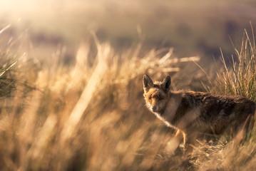 Wild animal in dry grass in autumn Fotoväggar