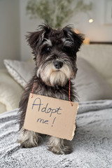From above focused little pedigreed Miniature Schnauzer dog looking at camera while sitting with cardboard sign on neck adopt me