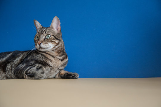 Studio shot portrait of a cat sitting on a blue and yellow background