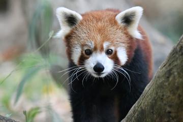 Papiers peints Panda panda roux