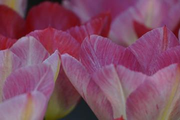 Türaufkleber Tulpen Blühender Frühling im Münsterland