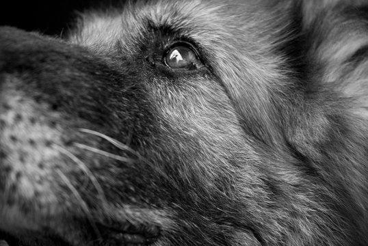 Laila - ritratto bianco e nero di cane pastore tedesco con riflesso di umano negli occhi