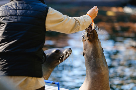 Barcelona Zoo, Barcelona Spain April 20, 2017 - Barcelona Zoo keeper feeding and caring for California Sea Lions in their facility.