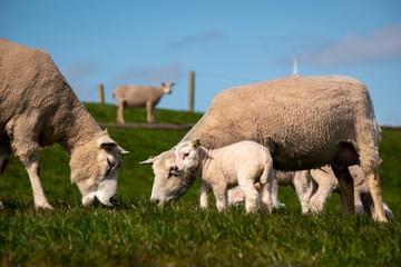 Lambs and Sheep on the dutch dike by the lake IJsselmeer,Spring views , Netherlands Noordoostpolder Flevoland