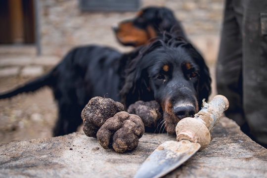 Black truffles recently recollected and two dogs at the background.