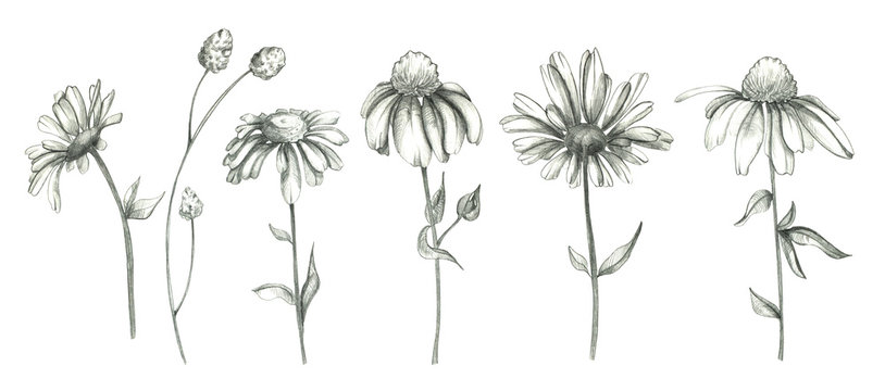 Pencil daisy flowers set isolated on white background. Pencil flowers set. Chamomile collection. Botanical illustration set. Floral drawing. Use it for design, invitation, textile.