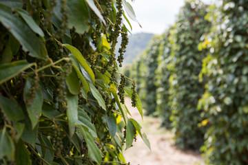 Pepper farm in Cambodia