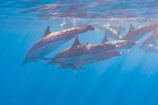 Pod of dolphins swimming just below surface in clear blue ocean