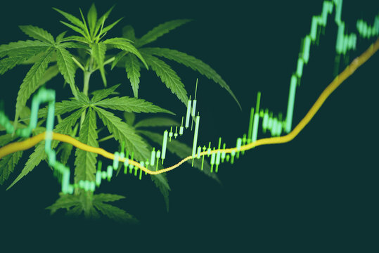 Business marijuana cannabis leaves with stock graph charts on the stock market exchange or trading analysis investment - Commercial cannabis medicine money higher value concept
