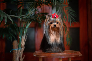 Wall Mural - Yorkshire Terrier in the interior. Beautiful grooming.