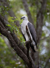 A White-bellied Sea Eagle, Djukbinj National Park, Northern Territory, Australia, sitting on the branch of a tree.
