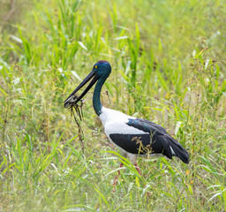 Black- Necked Stork or Jabiru (Ephippiorhynchus asiaticus) feeding on a long-necked turtle, Adelaide River floodplain near Darwin, Northern Territory Australia