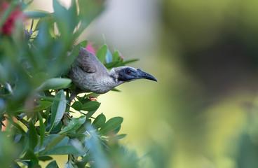 Helmeted friarbird, Philemon buceroides, sitting on tree branch, Darwin, Northern Territory Australia