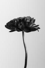Monotone ranunculus flower