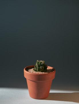 Cacti succulent Haworthia Cooperi in a ceramic terracota pot lighted with sunlight