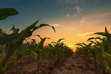 Wall Mural - Corn field in sunset