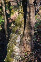 Charakterystyczny pień drzewa w wiosennym lesie