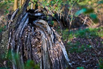 Stare drzewo zniszczone chorobą i złamane w słonecznym lesie