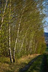 Las brzozowy w promieniach słońca