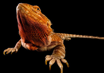 Close-up Of Bearded Dragon On Black Background
