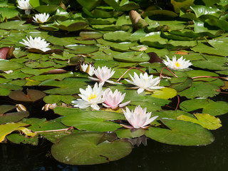 Spoed Fotobehang Waterlelies White water lily on the pond. Pink-white water lilies in sunny weather.
