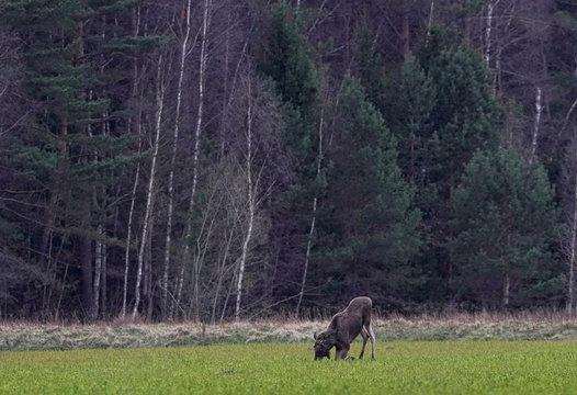 Elk knees as it eats rape in a field near the village of Zhukovka