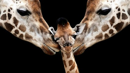 Foto op Plexiglas Giraffe Father And Mom Giraffe Loving Her Cute Baby Giraffe