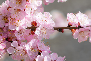 Wall Mural - Spring floral nature background with blooming pink sakura cherry flowers blossom